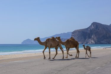 Camels go on the road. Dhofar, Oman.